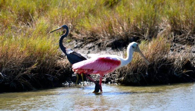 The Roseate Spoonbill and the Tricolored Heron